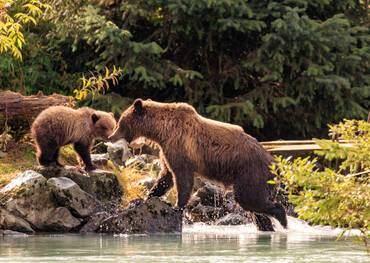 Bears in Haines, Alaska