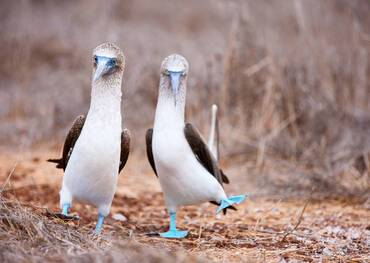 footedBlue footed boobies in the Galapagos Islands