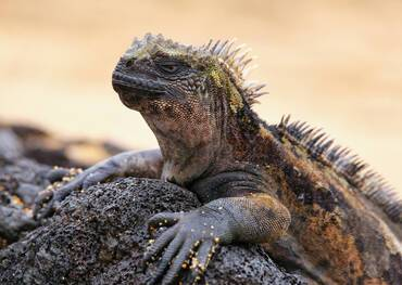 See the Marine Iguana only on a cruise to the Galapagos
