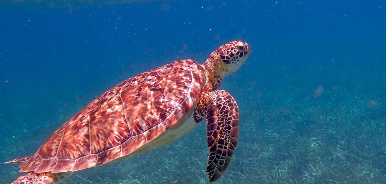Marine Nature, Tropical Sea Turtle - Belize