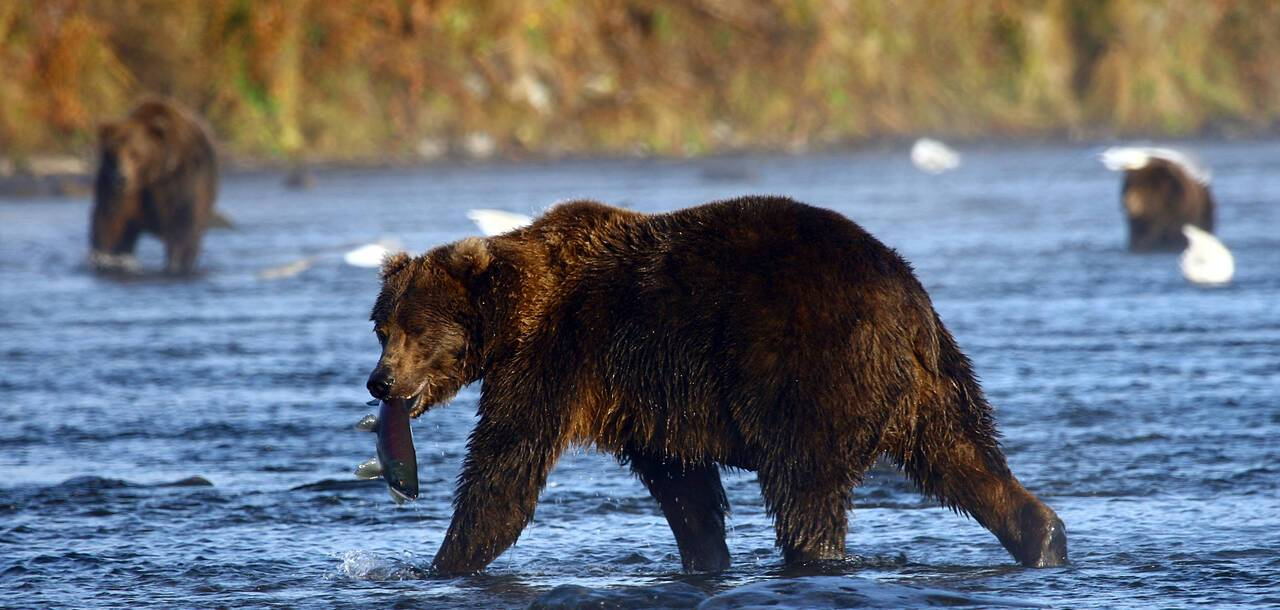 Alaska Kodiak bear fishing for salmon