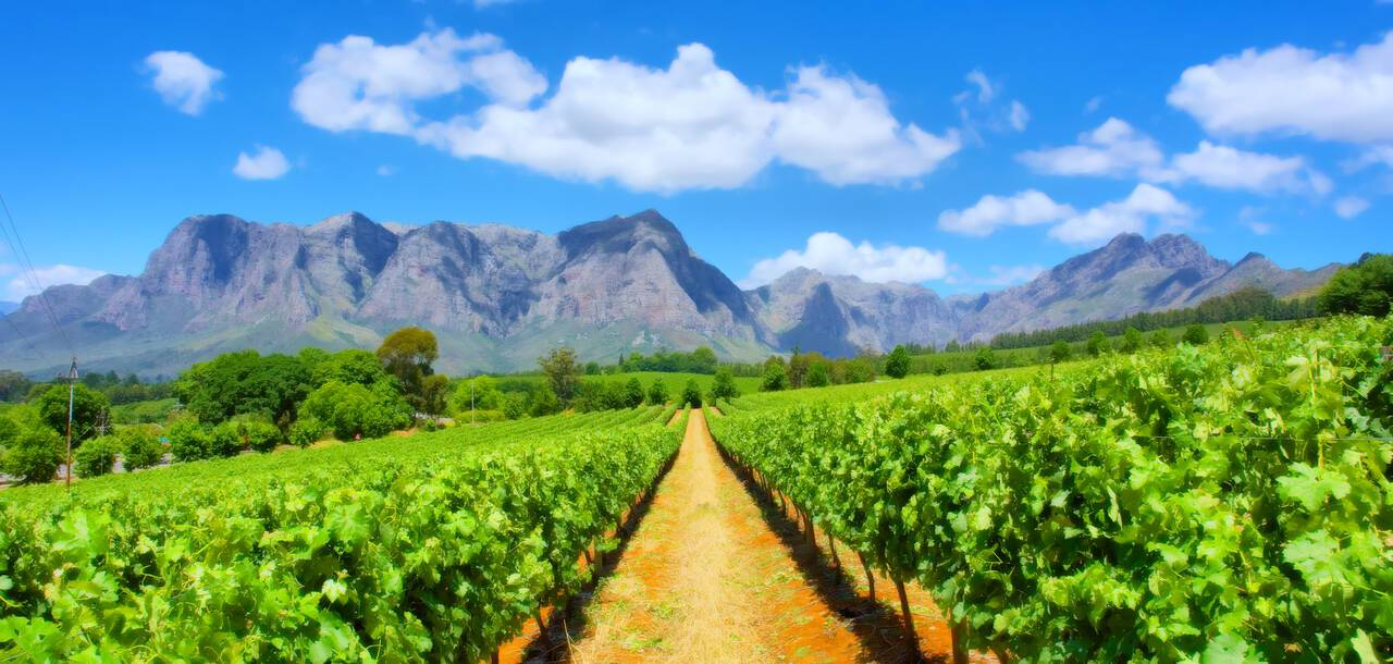 Vineyards, Western cape